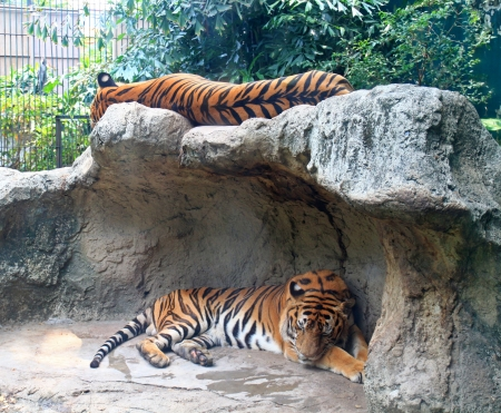 Two tigers sleep on a rock in zoo  photo
