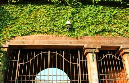 Doorway surrounding with green ivy photo