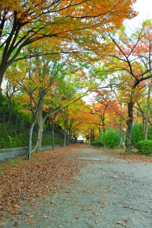 Japan in autumn red maple trees on pathway photo