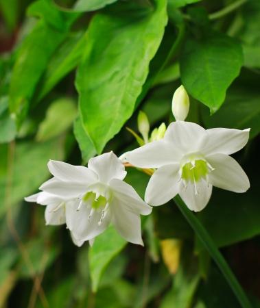jasmine flower: White flowers in garden