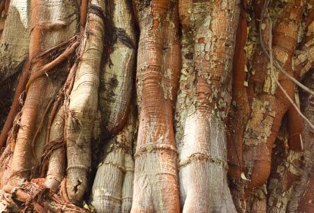banyan tree: Closeup of tree trunk texture