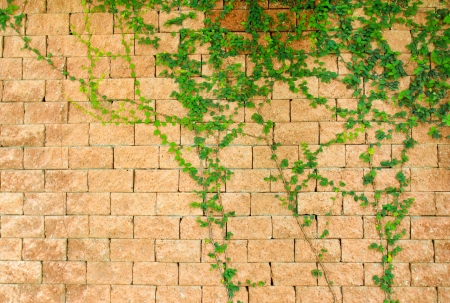 Green ivy on the brick wall photo