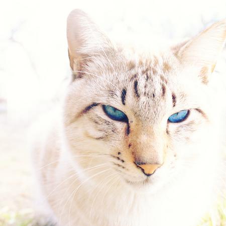 whiskar: White cat with blue eyes Stock Photo