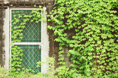 Door and a wall covered with ivy plant photo