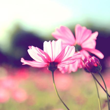 campo de flores: cosmos flores de color rosa con efecto de filtro retro Foto de archivo