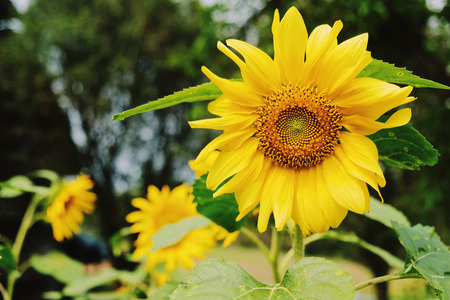 Close up of fresh sunflower in the farm, spring and summer concept