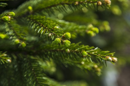 thorn tip: Young sprout of spruce. Natural forest background Stock Photo