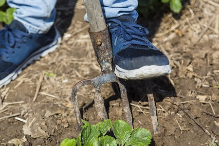 pitchfork: Digging spring soil with pitchfork in garden