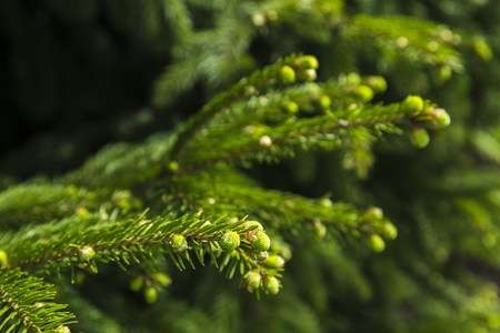 thorn tip: Young branches of spruce, natural background in forest