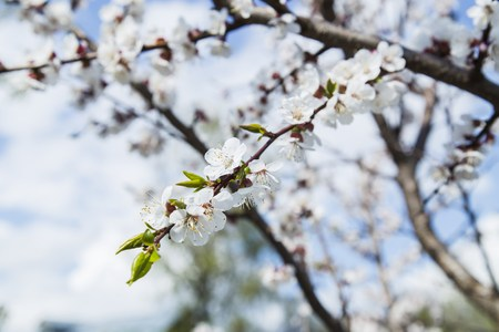 apricot tree: Beautiful nature scene with blooming apricot tree