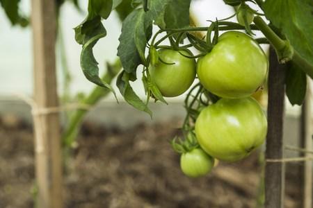 tomate de arbol: El tomate verde en tomate de árbol en el jardín