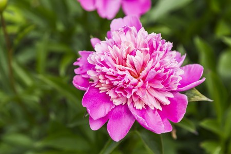 flori culture: Pink peony flower in the garden, summer Stock Photo