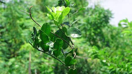 monoculture: Close up bergamot leaves.Citrus