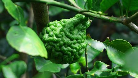Bergamot fruit on branch.