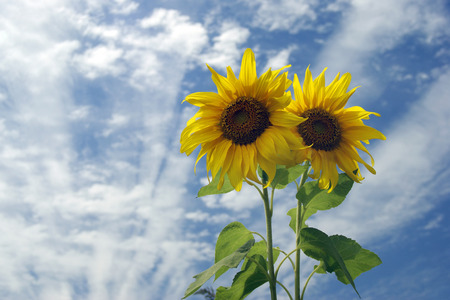 Sunflower pin between good sunny day,