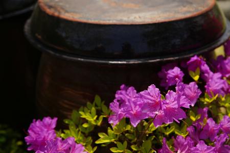 Royal azalea, Azalea Stock Photo