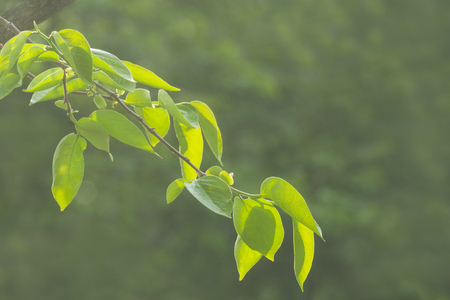 Persimmon tree leaves