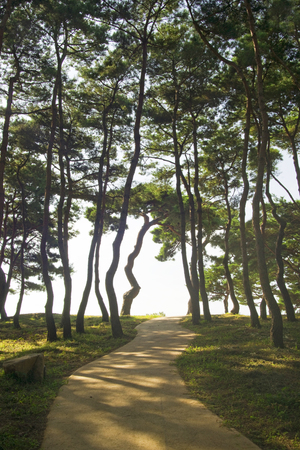A beautiful pine forest