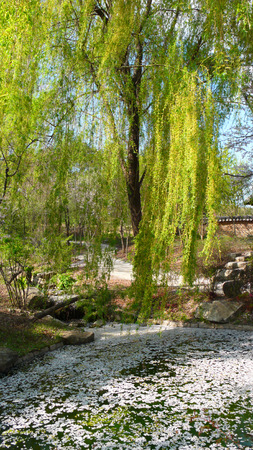 Drooping willow shed in the pond Stock Photo