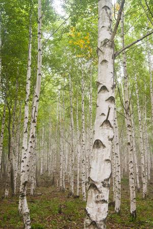 평창, 자작 나무 숲