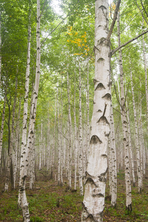 A grove of birch trees in Pyeongchang, Korea