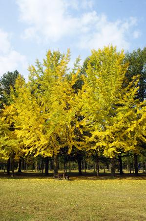 autumn colors, Ginkgo (autumn), autumn Stok Fotoğraf