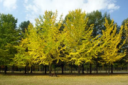 autumn colors, Ginkgo, Autumn, Namiseom Island