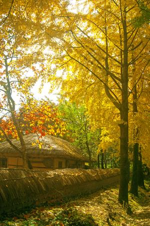 autumn colors, Ginkgo, autumn,