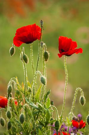field poppy, great scarlet poppy, Korea Banco de Imagens