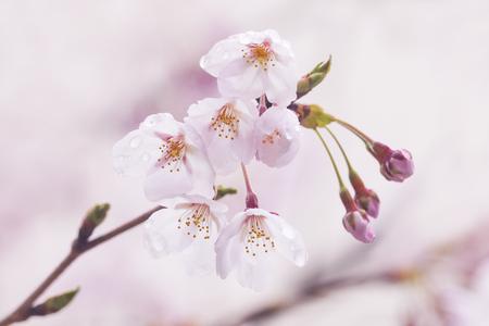 Cherry blossoms (Cherry blossoms), spring, April