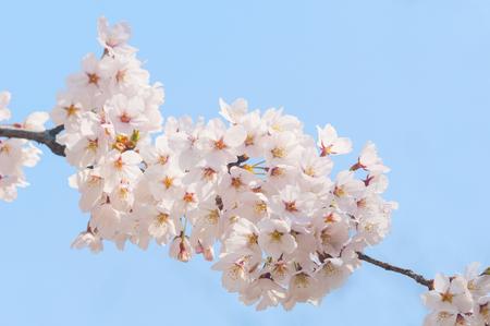 Cherry blossoms, spring, April