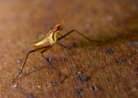 wet flies: insect cactusfly macro shot