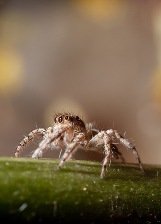beine spreizen: Springen Spinne auf Baum