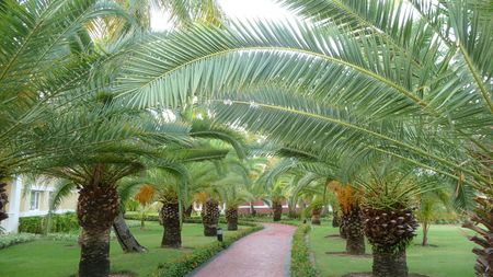 An avenue of palm trees, following a stone pathway in Punta Cana Domincan Republic