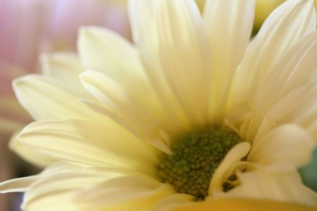 非常に淡い黄色のデイジー繊細な花びらを表示するためにトリミングします。