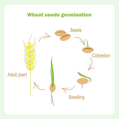 Scheme of Wheat seed germination. Learning biology stock vector illustration