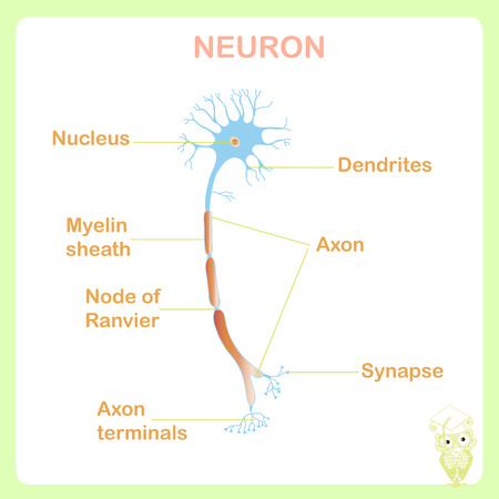 Scheme of typical anatomy neuron structure for school education stock vector illustration on white