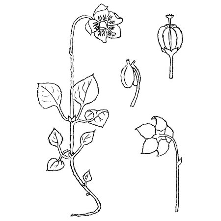Monochrome one-flowered wintergreen, hand drawn sketch of plant stock vector illustration for web, for print