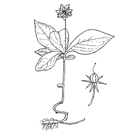 Monochrome chickweed-wintergreen, arctic starflower wintergreen, hand drawn sketch of plant stock vector illustration for web, for print