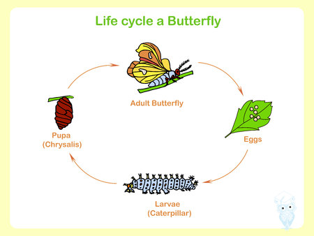 Scheme of the Life cycle a butterfly, flats design vector illustration