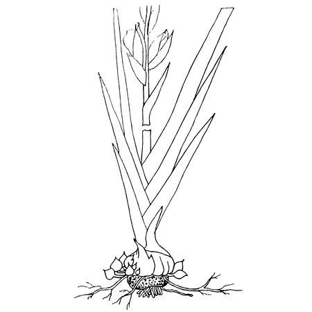 Ink sketch of gladiolus plant stock vector illustration. Standard-Bild - 97507916
