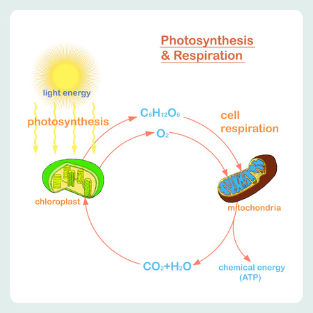Scheme of Photosynthesis and Respiration, hand drawn biology stock vector illustration