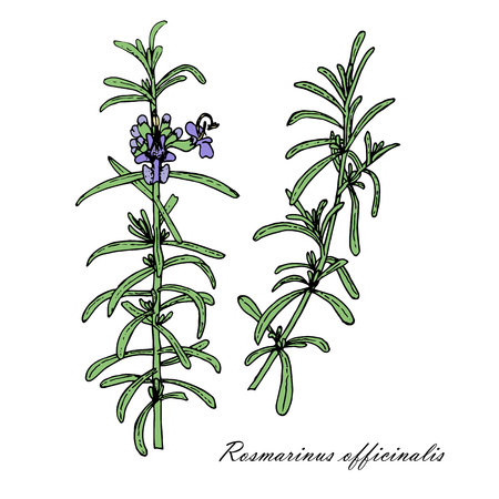 Rosemary plant sketch illustration