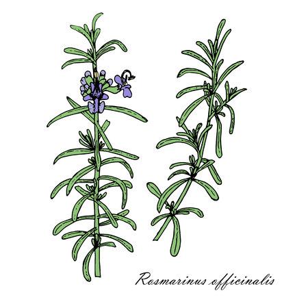 Rosemary plant sketch illustration