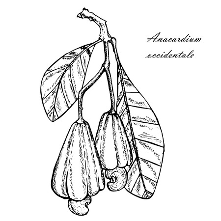 Ink sketch of Cashew tree branch with leafs, nuts. Monochrome design element for web, for print stock vector illustration