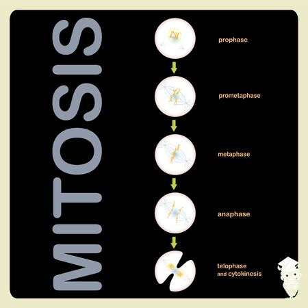 Mitosis scheme cell cycle division. Object isolated for education, for medical art object stock vector illustration