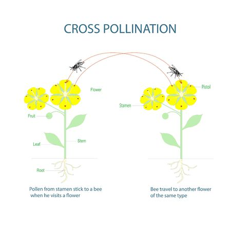 Cross-pollination. Pollination of flowering plants scheme for botany lessons at school, college. Yellow flowers green leaves art design stock vector illustration for web, for print Иллюстрация