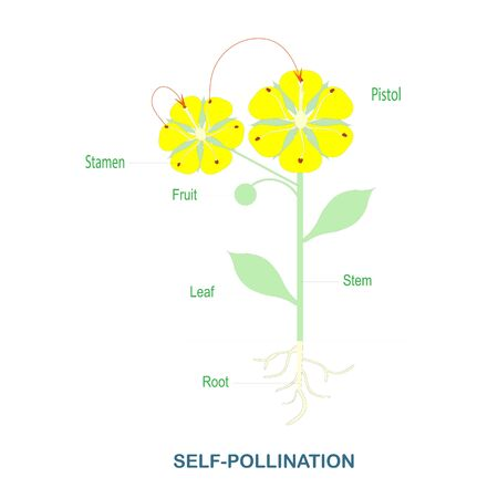 Self-pollination. Pollination of flowering plants scheme for biology botany lessons, school, college. Yellow flowers green leaves art design stock vector illustration for web, for print