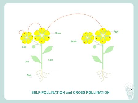 Self-pollination and cross-pollination. Pollination of flowering plants scheme for biology botany lessons, school, college. Yellow flowers green leaves art design stock vector illustration for web, for print