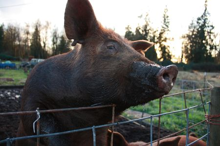 potbellied: Pig with dirty snout Stock Photo
